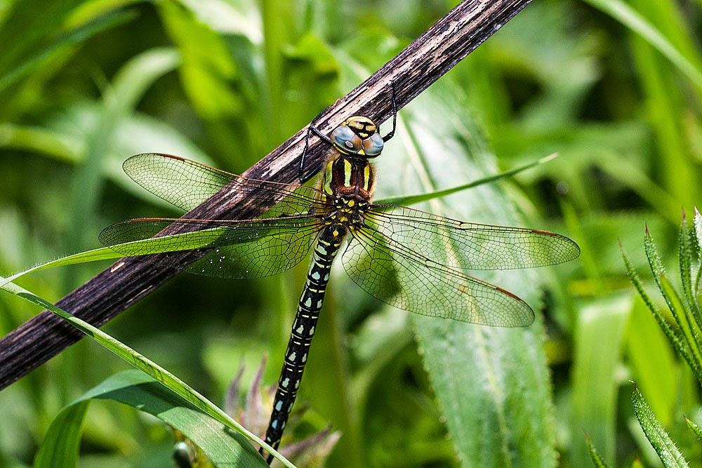 Hairy Dragonfly - Bancroft Park, Milton Keynes