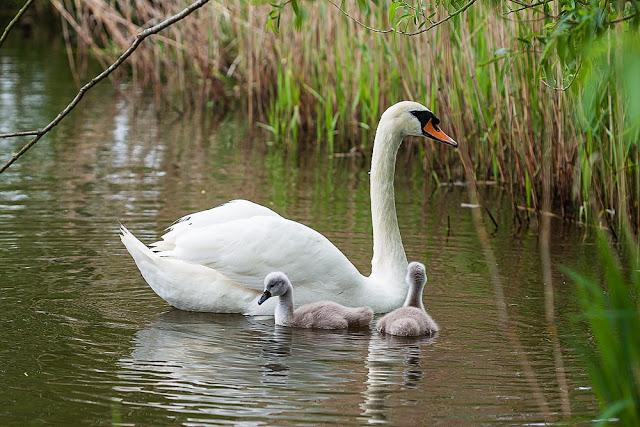 Mute Swan and cygnets - Lack of waterbird diversity on lodge lake