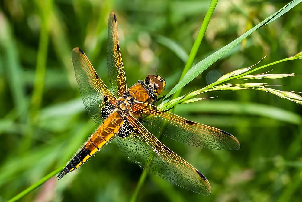 How to Photograph Dragonflies - Four Spot Chaser