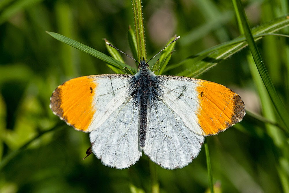 Orange Tip (male) - Lodge Lake, Milton Keynes