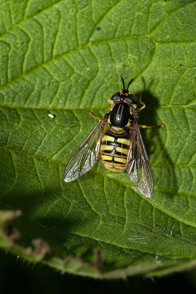 Hoverfly that needs an ID - Loughton Valley Park, Milton Keynes