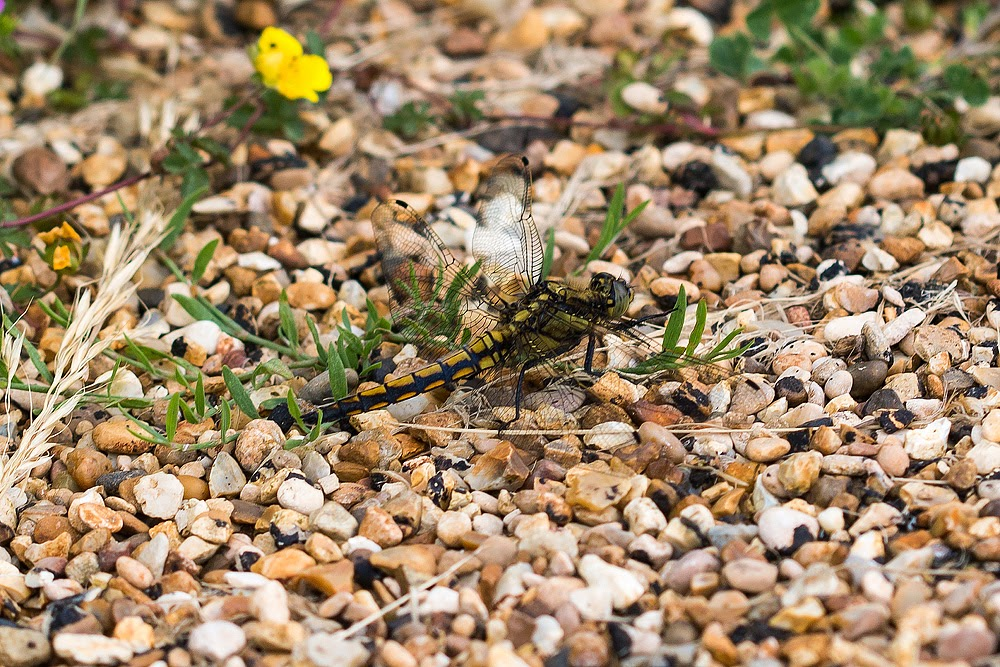 Black-Tailed Skimmer (Female) - Loughton Valley Park, Milton Keynes