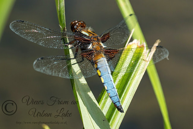Broad-bodied Chaser - Loughton Valley Park, Milton Keynes - First Day Out With My New Camera