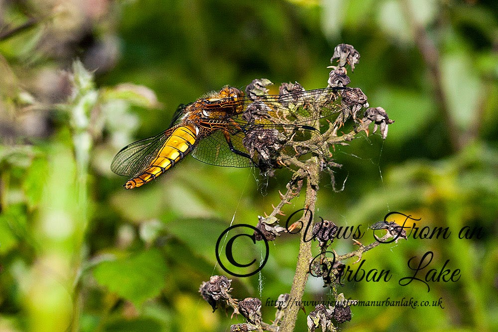 Broad-bodied Chaser (female I think rather than early male) - Lodge Lake, Milton Keynes