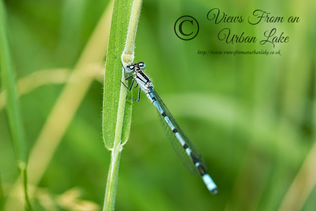 Common Blue Damselfly - Another Day of Interesting Wildlife
