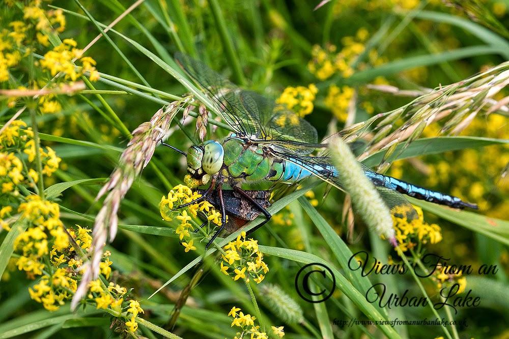 Emperor Dragonfly eating small tortoiseshell butterfly - Milton Keynes