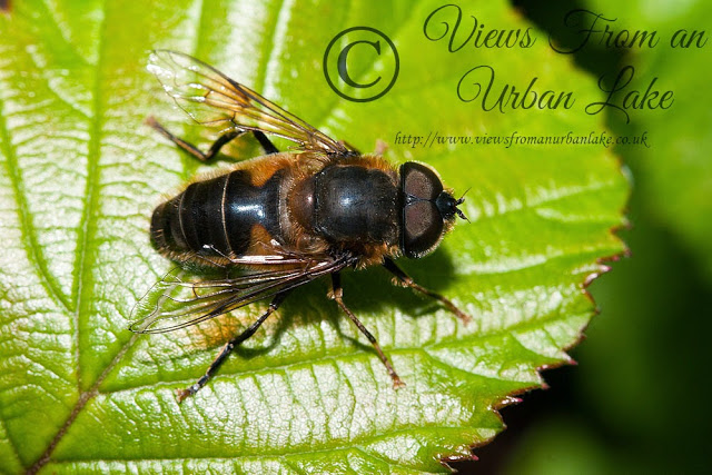 Eristalis Pertinax (I think) - An Hour of frustration with Reed Warbler