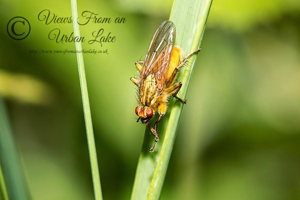 Yellow Dung Fly - Lodge Lake, Milton Keynes