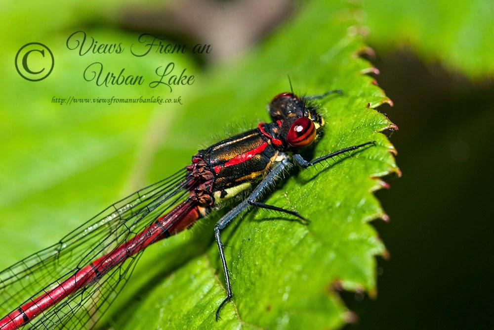 Large Red Damselfly - Lodge Lake, Milton Keynes