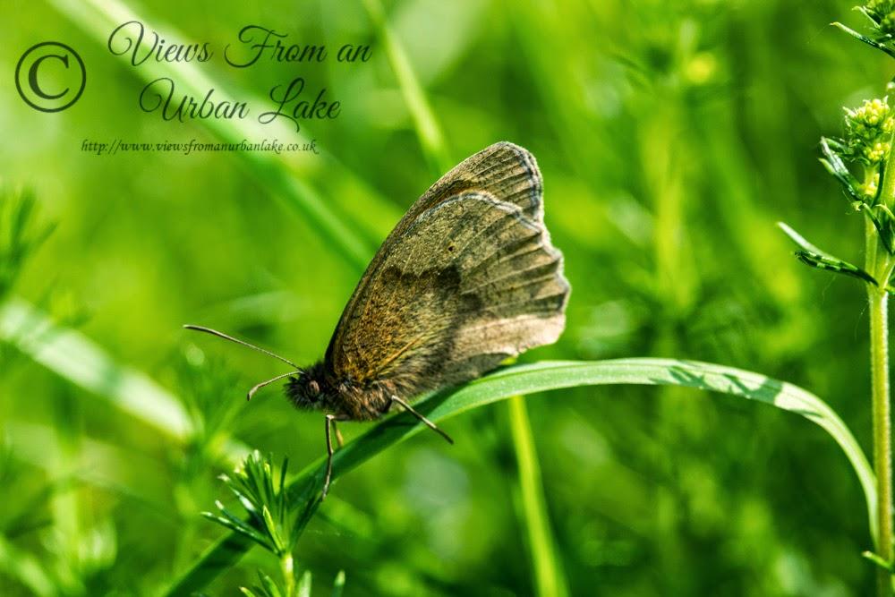 Meadow Brown - Loughton Valley Park, Milton Keynes