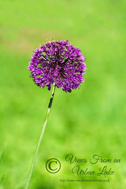 Allium - Bradwell Village, Milton Keynes - A Couple of Firsts on the Patch