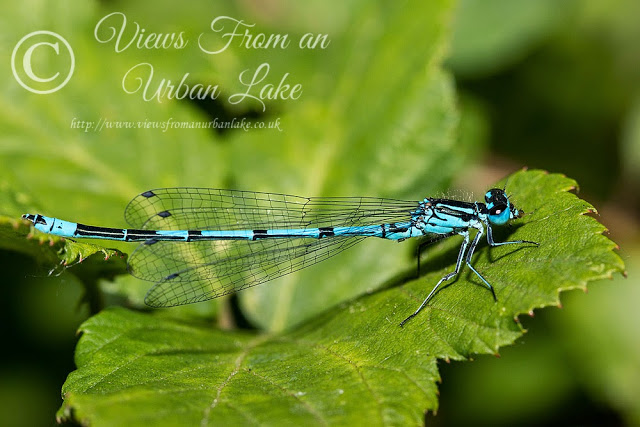 Azure Damselfy, Lodge Lake, Milton Keynes - An Unexpected Dragon