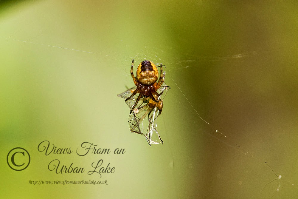 Spider sp? - Great Holm, Milton Keynes