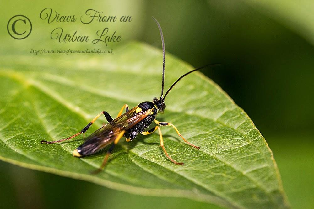 Wasp sp - Lodge Lake, Milton Keynes