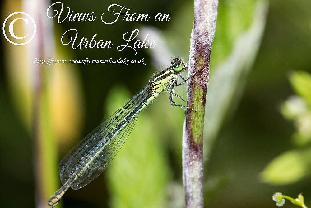 Azure Damselfly (Female) - Teardrop Lakes, Milton Keynes