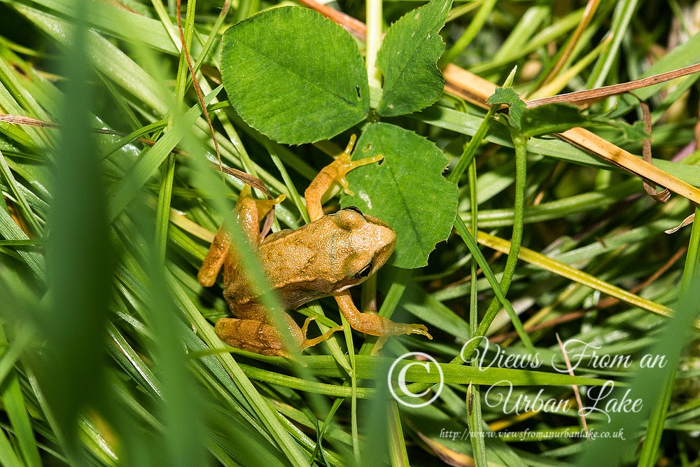 Common Frog - Bradwell Abbey, Milton Keynes