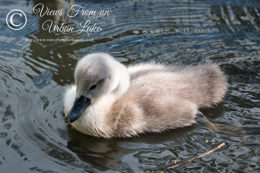 Mute Swan Cygnet - Lodge Lake, Milton Keynes