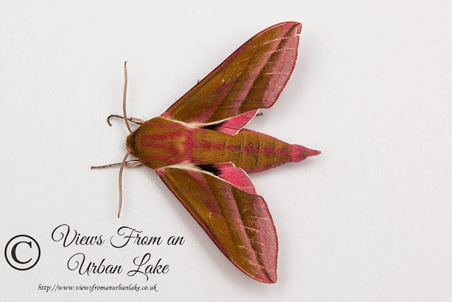 Elephant Hawkmoth - National Moth Night