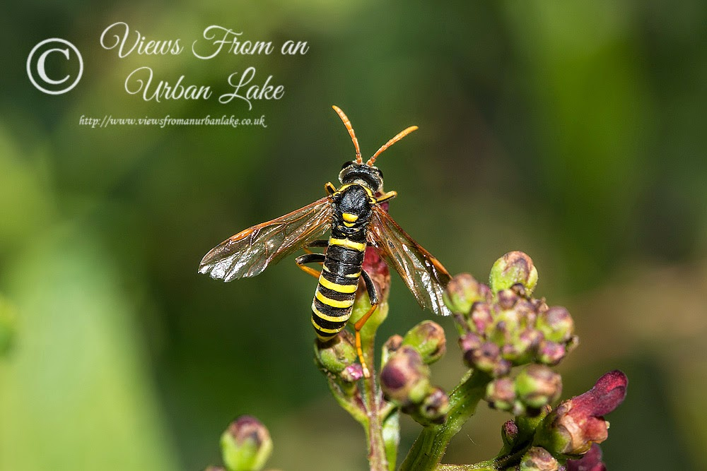 Figwort Sawfly - Loughton Valley Park, Milton Keynes