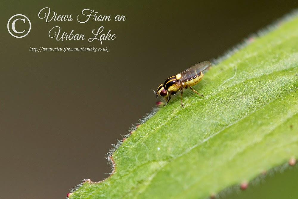 Unknown Fly - Great Holm, Milton Keynes