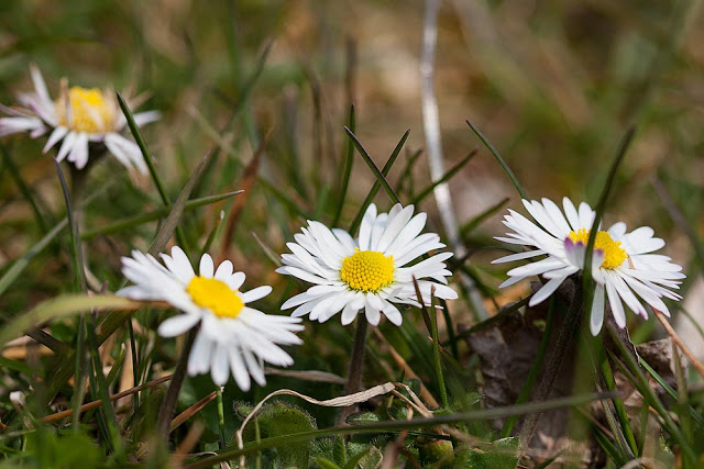 Daisies ideal for creating a crown