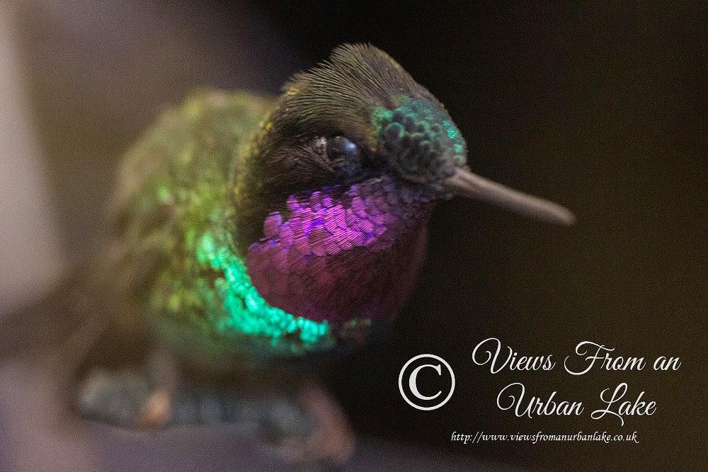 A Humming bird on display
