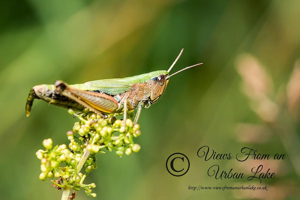Common Green Grasshopper - Tring Park, Herts