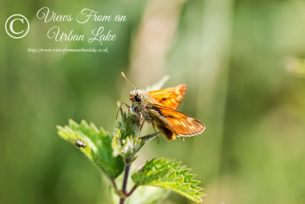 Large Skipper - Loughton Valley Park, Milton Keynes