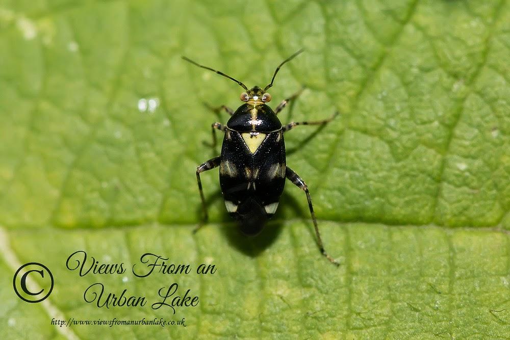 Liocoris Tripustulatus - Great Holm, Milton Keynes