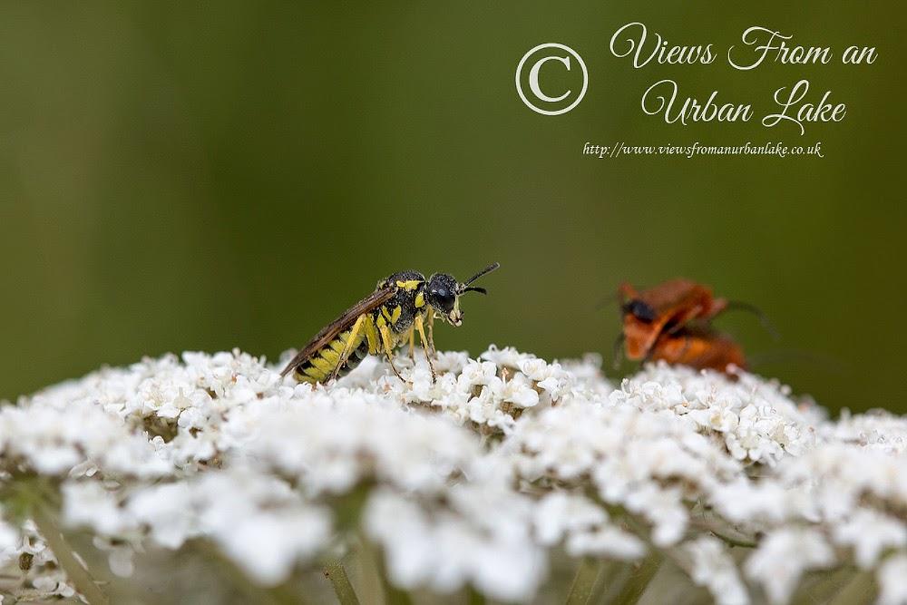 Unknown Wasp - Lodge Lake, Milton Keynes