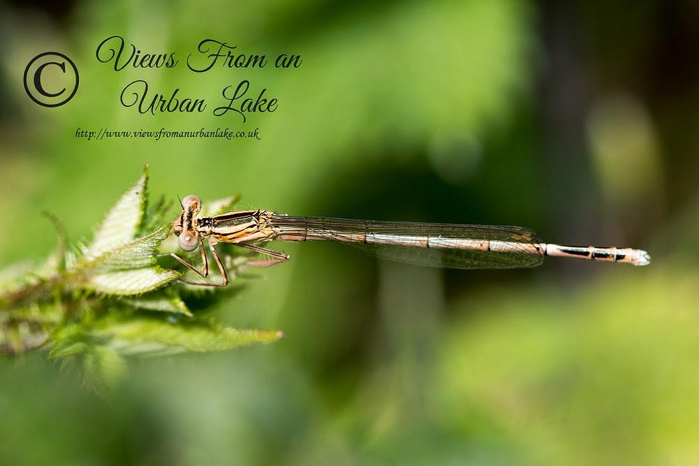 White-Legged Damselfly (Immature) - Teardrop Lake, Milton Keynes