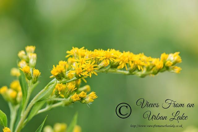 Yellow Flower from my garden - Garden Wildlife