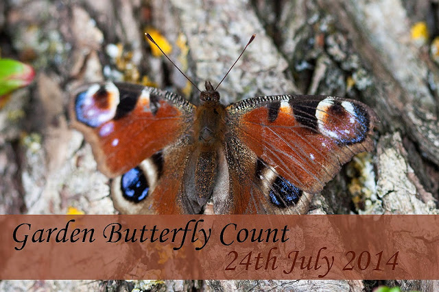 Garden Butterfly Count - Peacock