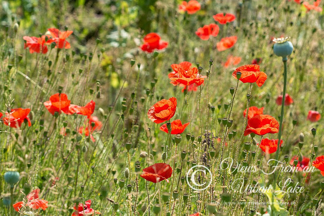 Poppies by Bradwell Abbey - 2nd July Wanderings