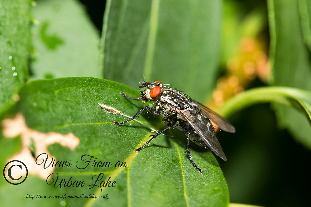 Flesh Fly - Loughton, Milton Keynes