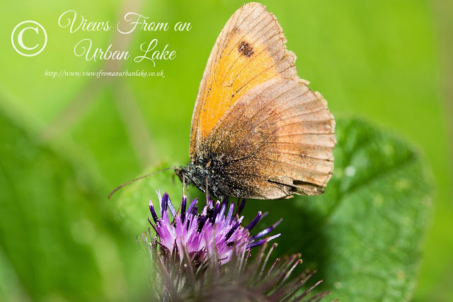 Meadow Brown - Our First Walk on the New Patch