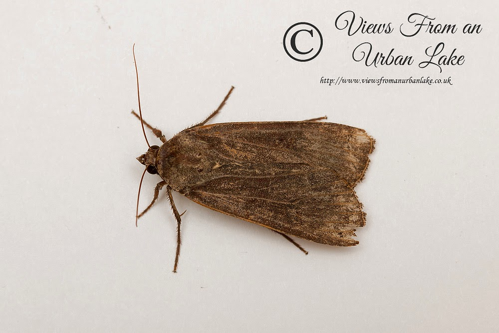 Large Yellow Underwing - First Moth Trapped at my new house