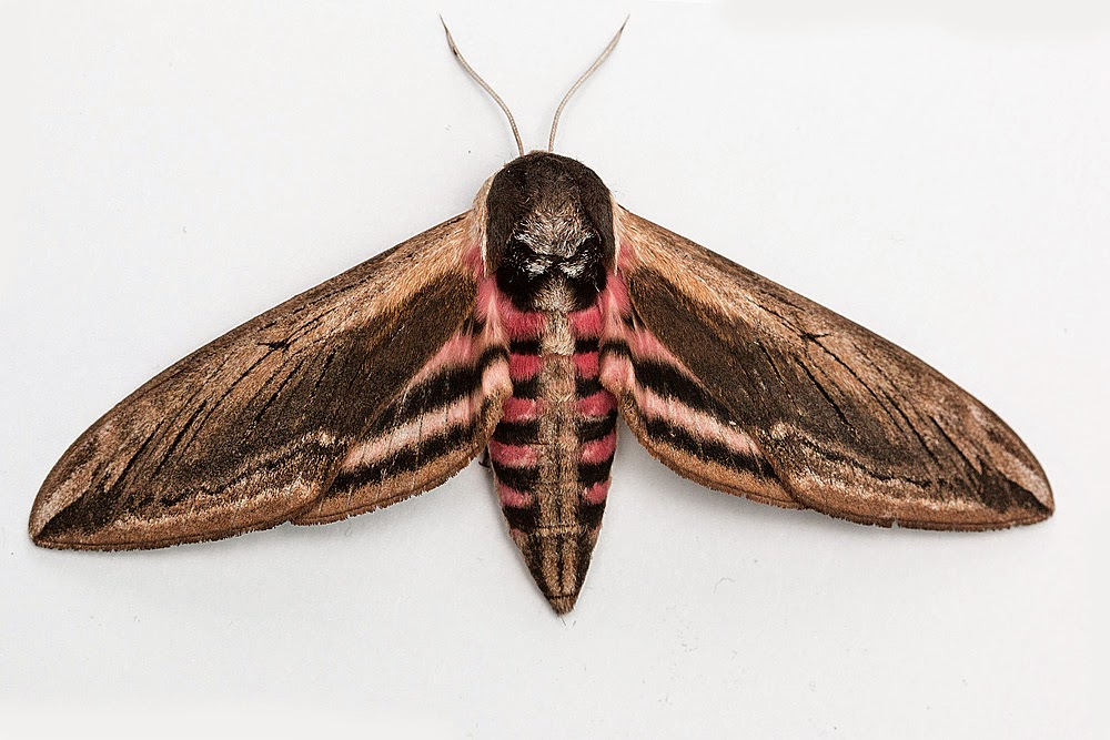 Privet Hawkmoth (one of the largest UK Moths) - Milton Keynes