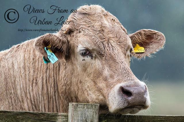 Cattle Head - A Very Wet Walk Around Manor Farm