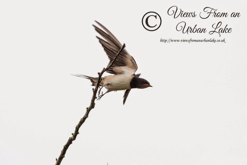 Swallow taking flight - Manor Farm, Milton Keynes