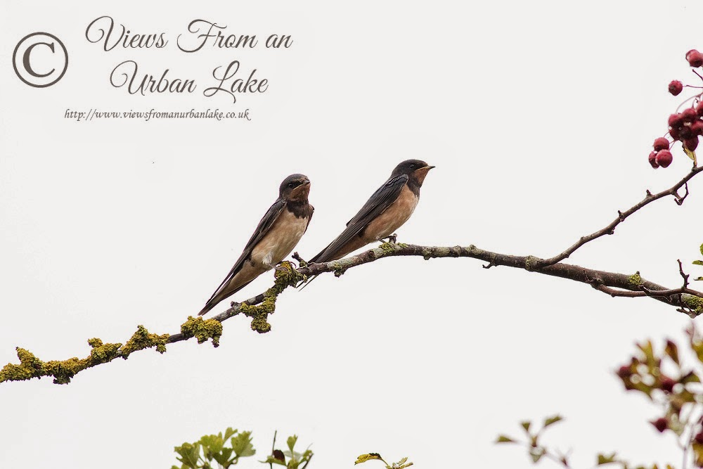 Two Swallows (this is the one I think most has that Japanese style) - Manor Farm, Milton Keynes