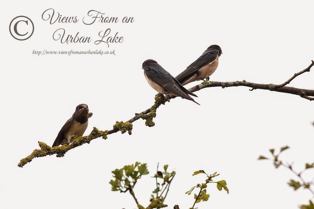 Three Swallows - Manor Farm, Milton Keynes