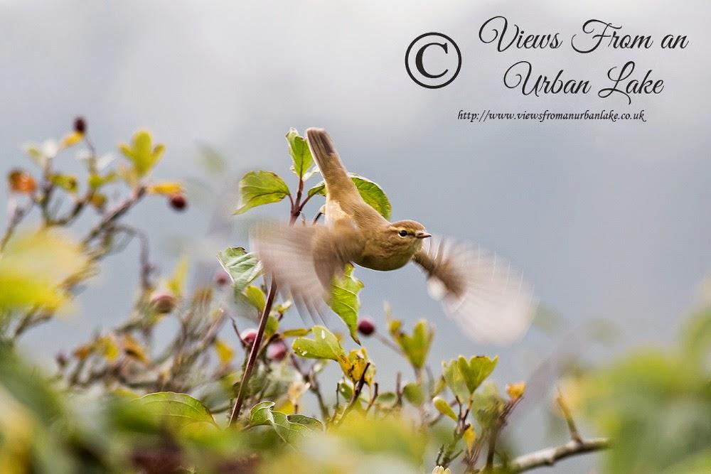 Common Chiffchaff (just taking flight) - Wolverton Mill, Milton Keynes