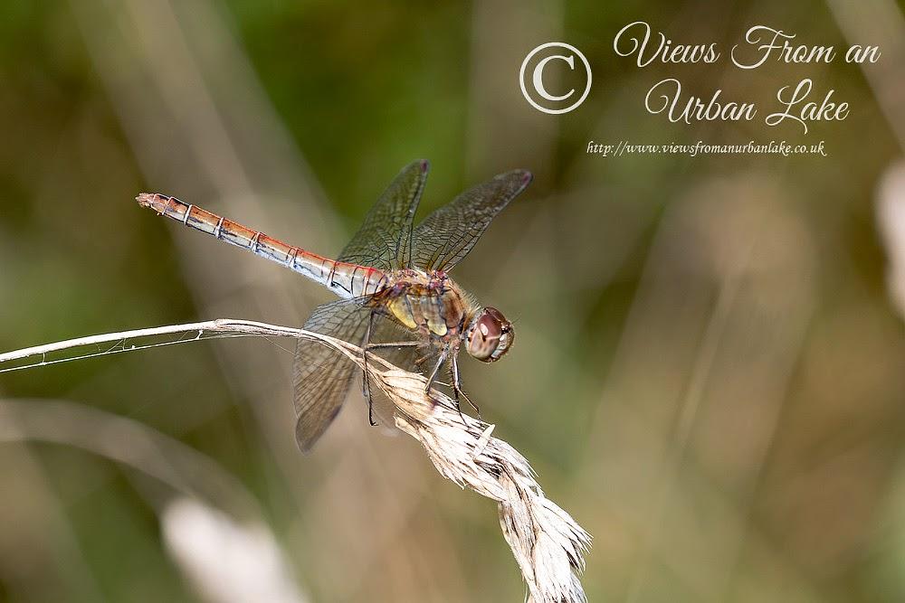 Common Darter (Old female) - Ouse Valley, Milton Keynes