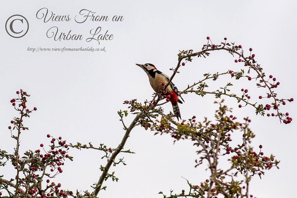 Great Spotted Woodpecker - Wolverton Mill, Milton Keynes