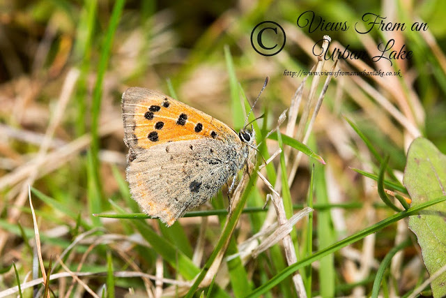 Late Summer Gold - Small Copper