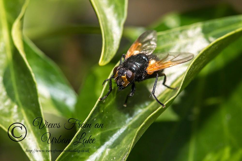 Mesembrina Meridiana (Noon Fly) - Wolverton Mill, Milton Keynes