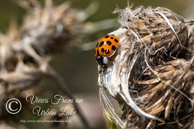 A Long Family Walk - Harlequin Ladybird - Manor Farm, Milton Keynes