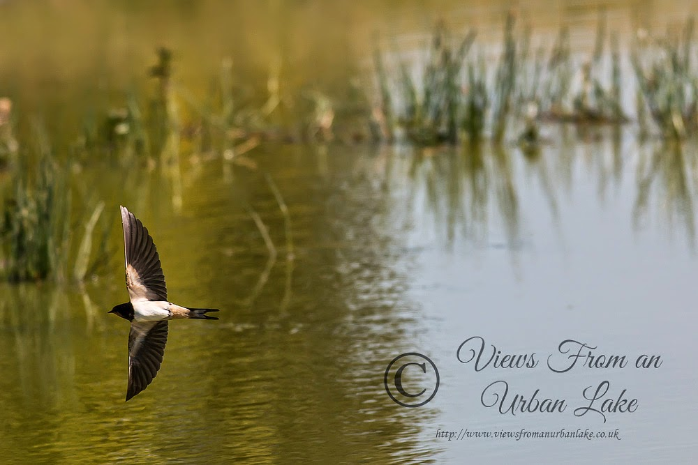 Swallow - Manor Farm, Milton Keynes