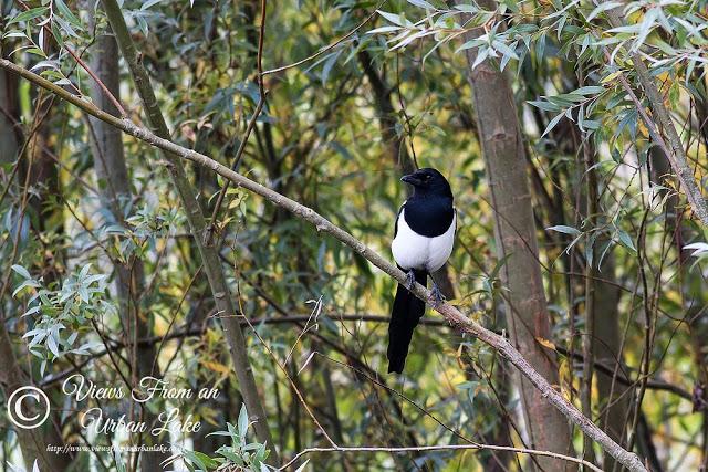 Magpie (or Black-billed Magpie) - A Manor Farm Wildlife Walk